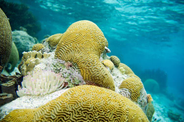 brain-coral-by-paul-asman
